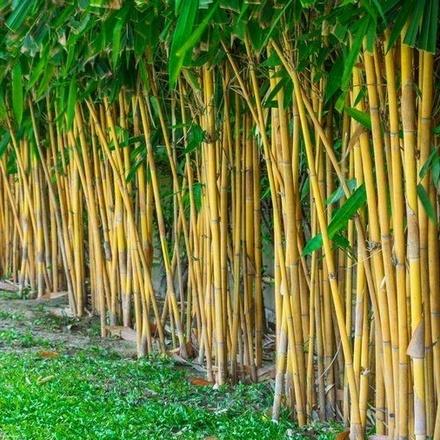 100pcs Plant Seeds C...